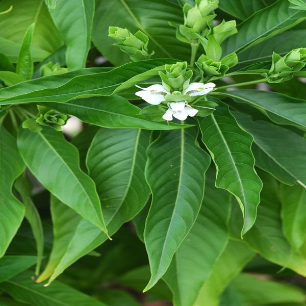 Adathodai Thulasi Honey