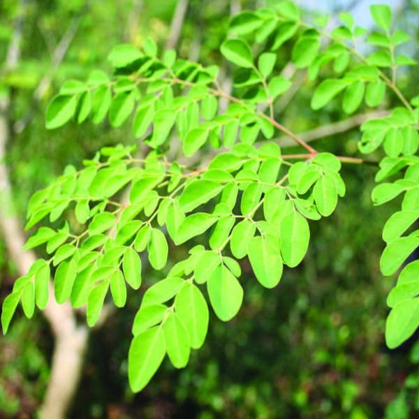 Murungai Extract
